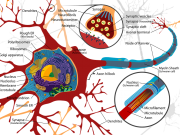 nervous system - a nerve cell