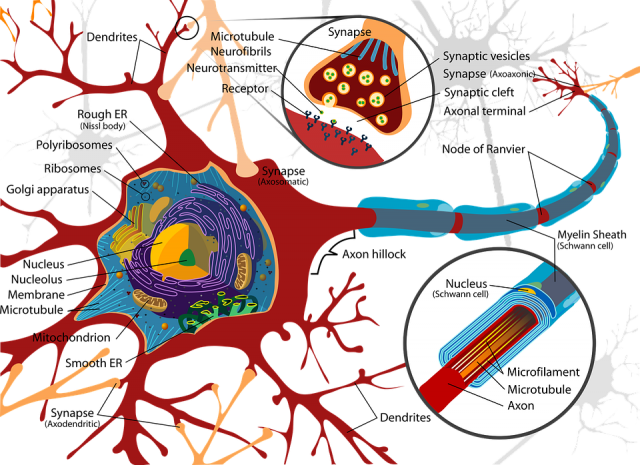 nervous system - a nerve cell