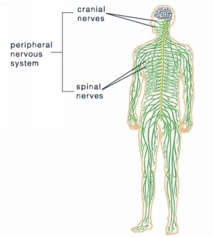 nervous system pictures